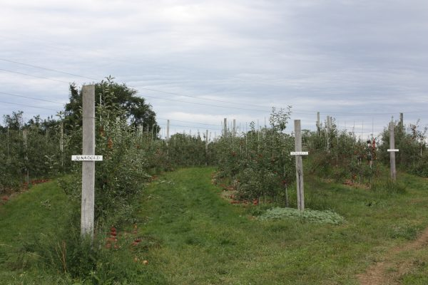 Highland_orchards_apple_orchard_rows