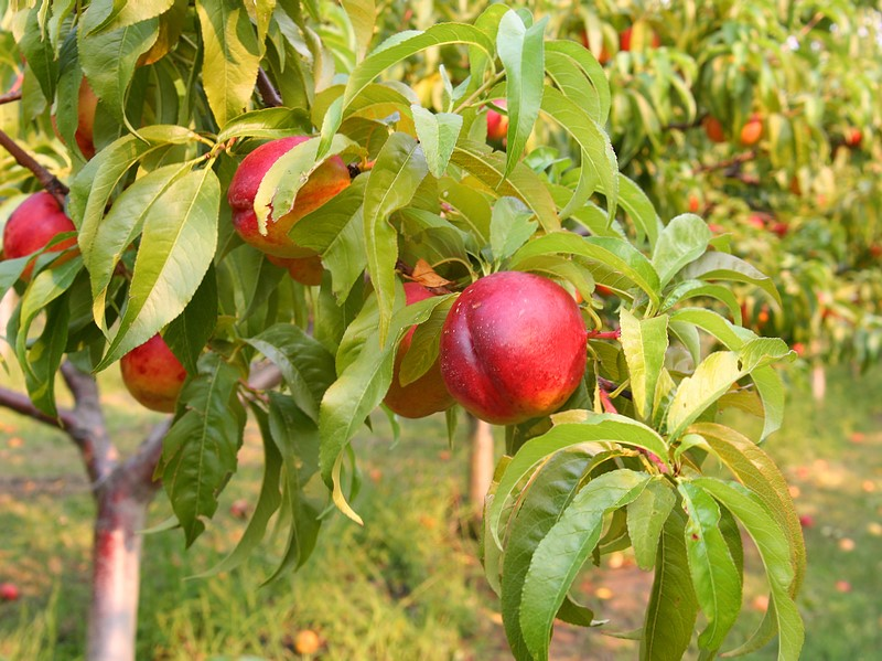 nectarine-on-tree2